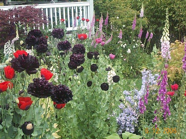 118 best Poppy Garden - Papaver-Somniferum and other Poppies images