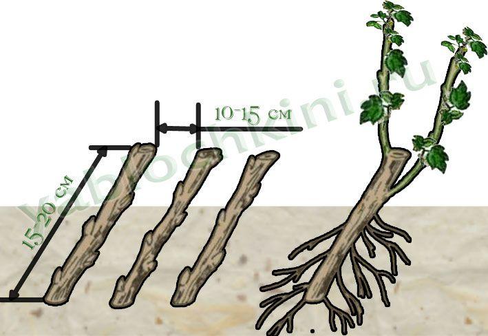 размножение деревянистыми-черенками