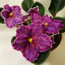 African Violet 'Sunset Kiss' -Plants or leaves may be available.