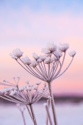 Snowy closeup of frozen crystalized flowers against a colorful sunrise. Available as poster at printler.com, the marketplace for photo art. Photographer Erika Olofsson