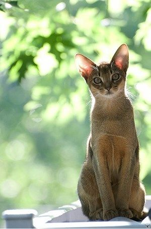 * * FACTOID: Abyssinian cats have become wildly popular, in part because of their  unique beauty [they are depicted in Egyptian artwork], and in part because of their personalities. 'Abys' as they are affectionately known, are athletic and playful, but also extremely loving to their humans.