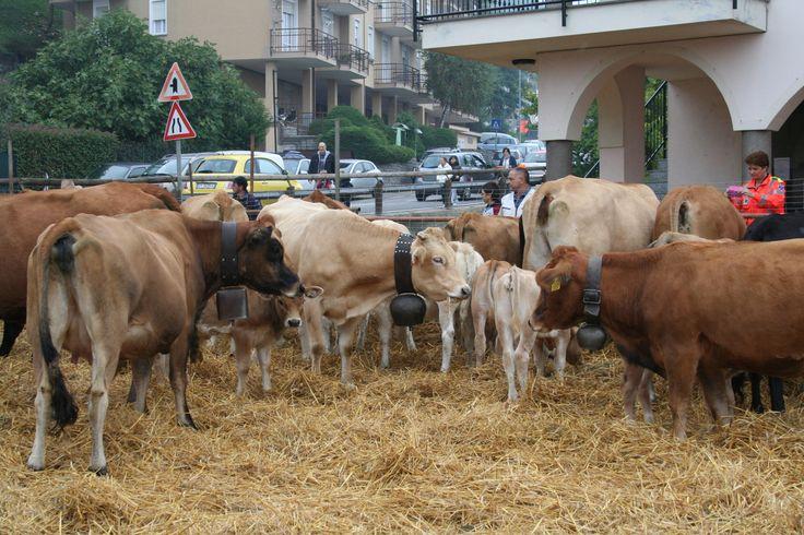 Nostalgia di Transumanza #cisiamoquasi #Nebbiuno ( #Novara #Piedmont #Italy )