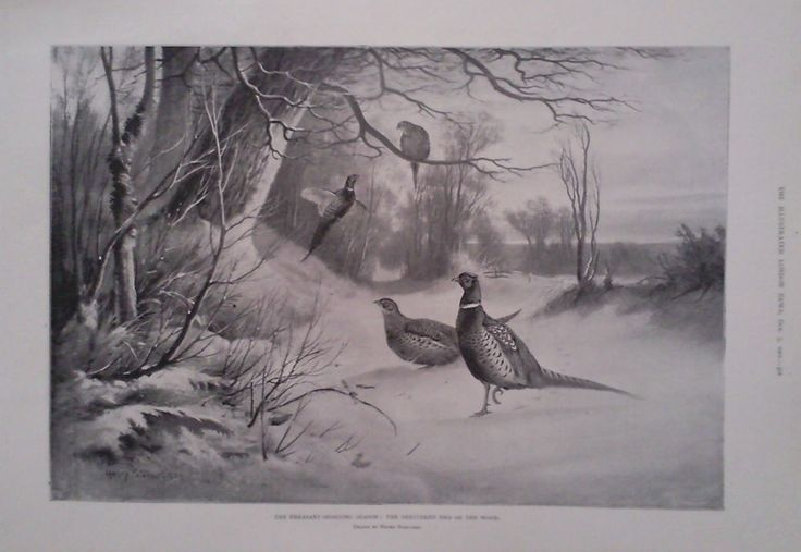 1901 PRINT PHEASANT SHOOTING SEASON: SHELTERED END OF THE WOOD by HENRY STANNARD