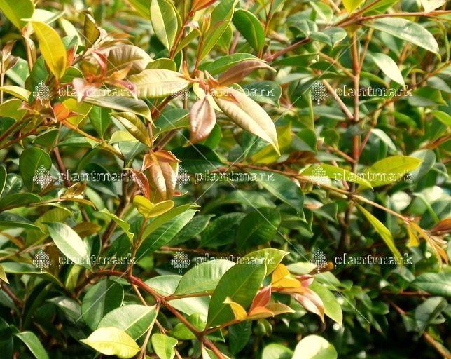 Syzygium Backyard Bliss