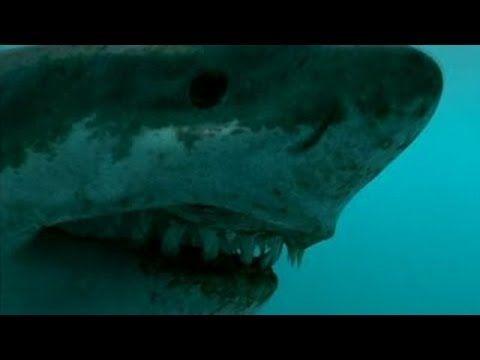 Giant Megalodon - Biggest Shark of the Dinosaur World ...