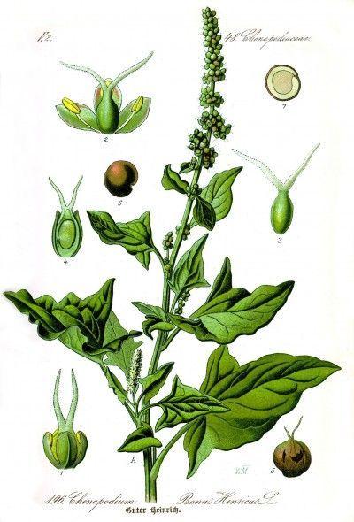 Der Gute Heinrich, auch als wilder Spinat bekannt ist heute vom Aussterben…
