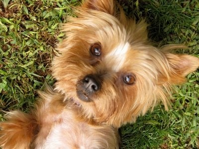 I seriously wish I could have a little Yorkie.  Aww.