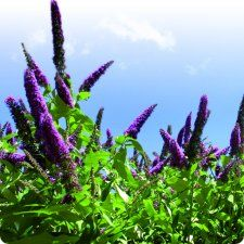 Vivara » Shop » Planten » Vlinderstruiken » Vlinderstruik paars (Buddleja davidii)