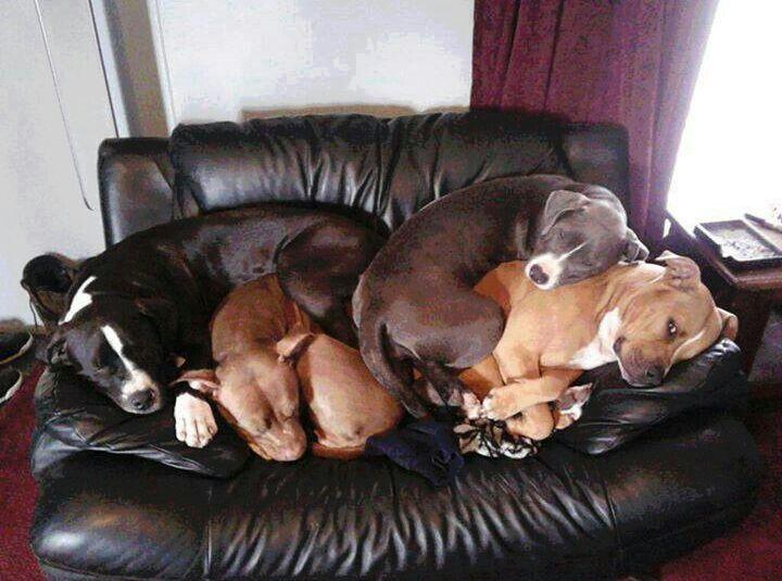 Loveseat full of pitbull love