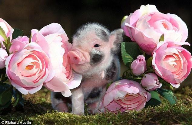 A piglet nestles between rose blooms on a farm in Devon. Courtesy http://dil-ki-dunya.blogspot.com/ (Public Domain).