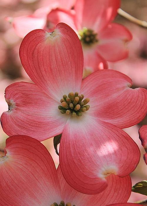 Pink Dogwood by Reid Callaway