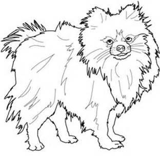 Best 25+ Pomeranian colors ideas on Pinterest | Teacup pomeranian ...