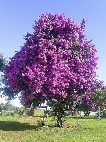 Buganvilea - Bougainvillea Glabra - tree form of the popular flowering plant!