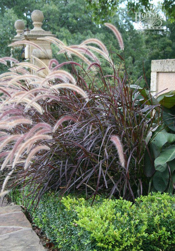 97 best All Kinds of Grasses images on Pinterest | Grasses ...