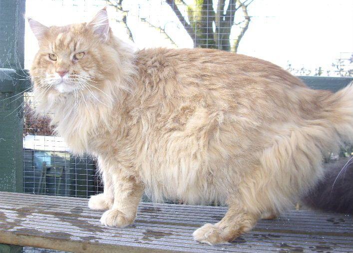 #MaineCoon #Red #Tabby #Mackerel #Cats FRIBANIKOS QUAKER