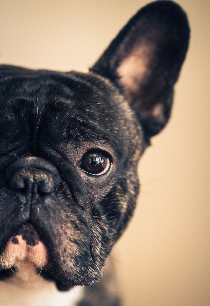 Photo Sim, the French Bulldog par Julien Vignali on 500px