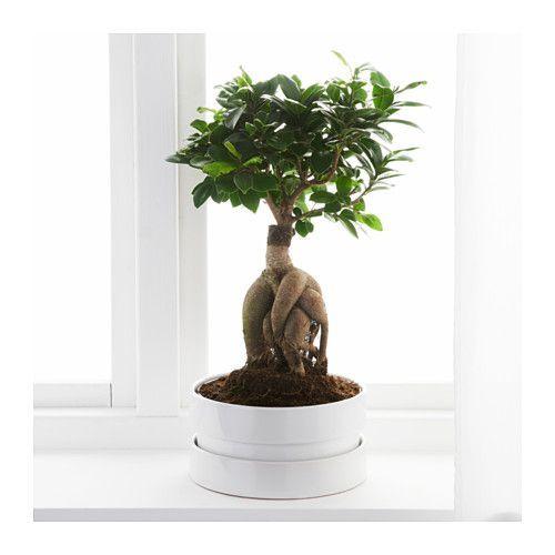 25 beste idee n over ficus boom op pinterest ficus woonkamerplanten en binnen bomen. Black Bedroom Furniture Sets. Home Design Ideas