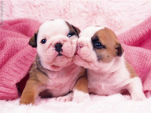 puppy kisses: Kiss, Animals, Puppies, Puppy Love, Bulldogs, Puppys, Baby, Photo