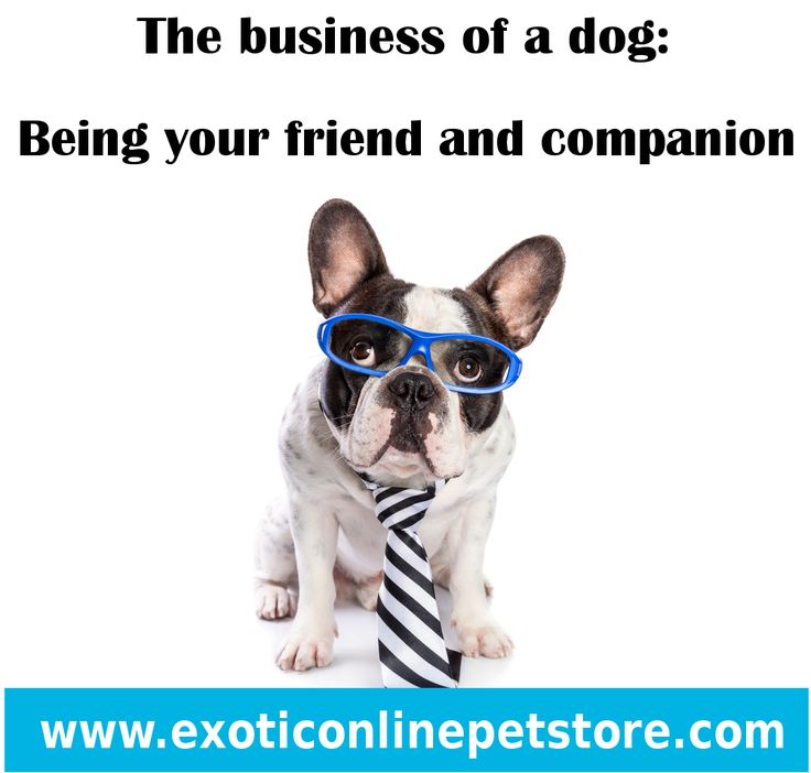 """""""The business of a dog: Being your friend and companion."""" #friends #companions #buisness #dogs http://www.exoticonlinepetstore.com/"""