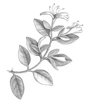 Cape Honeysuckle Seeds Tattoo Design Halls
