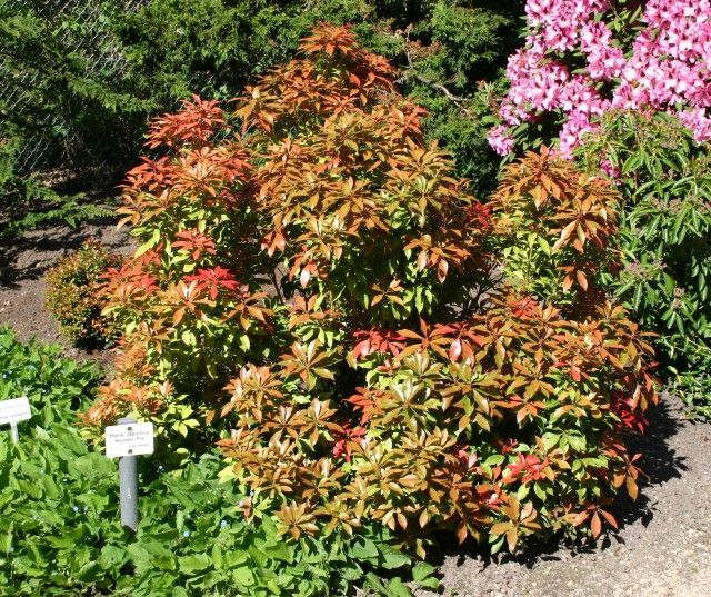 PIERIS japonica Mountain Fire -- new growth emerges red, white flowers in spring