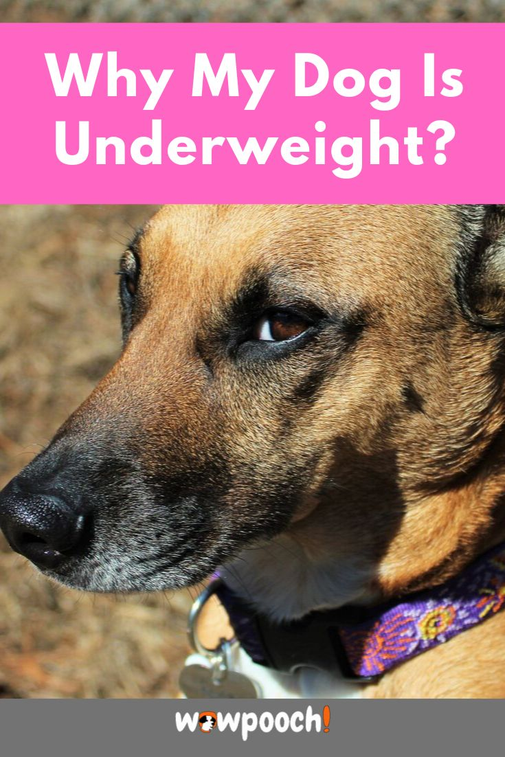 how to make a picky dog gain weight
