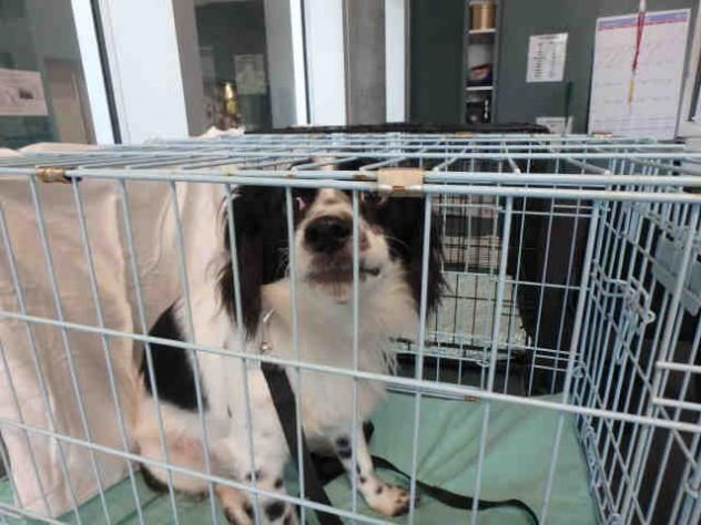 City of Los Angeles West Valley Animal Shelter; Chatsworth, CA. BUSTER! <3 • Jack Russell Terrier (Parson Russell Terrier) & English Springer Spaniel X • Young • Male • Med. Pet ID: A1691843 Neutered.
