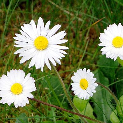 Plump, perky English daises make great edging plants. Or slip a few into your lawn for unexpected bursts of color.