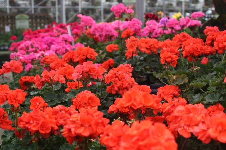 tangerine colored geraniums... the trendiest color of 2012