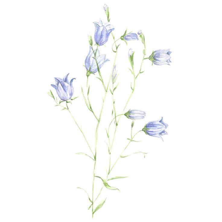 Image of [ORIGINAL] Campanula rotundifolia