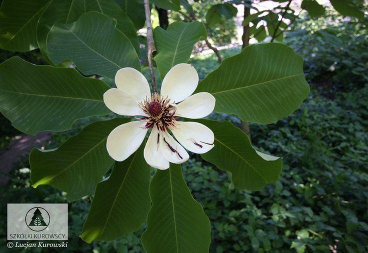 Magnolia hypoleuca - Magnolia szerokolistna