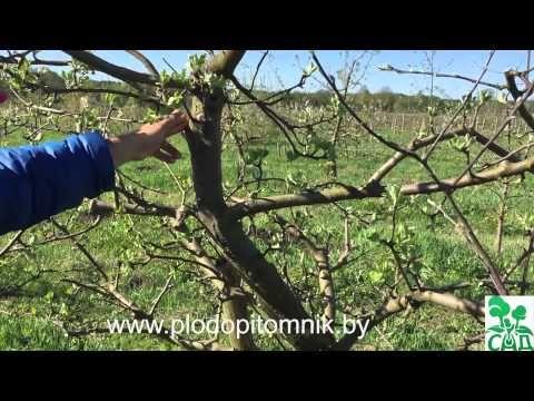 Формирование яблони и груши веретеном в течение жизни дерева. - YouTube