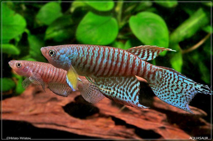 Gnatholebias Zonatus Finca Pair Killi Fish Pinterest