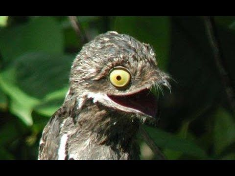 Common Potoo The Perfect camouflaged bird - Nyctibius Griseus