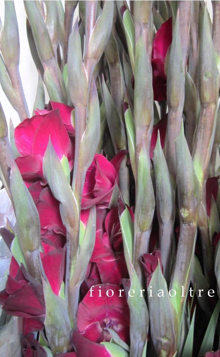 Fioreria Oltre/ Red gladiolas