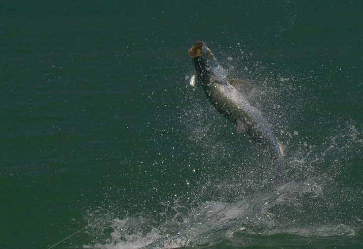 29 best images about fishing on little gasparilla island for Florida tarpon fishing