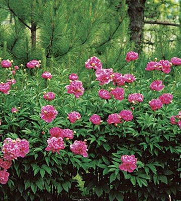 17 best images about peony on pinterest gardens growing for Easy care garden shrubs