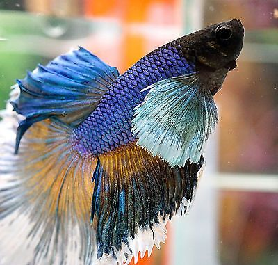 887 best images about bettas tanks on pinterest betta for Big betta fish