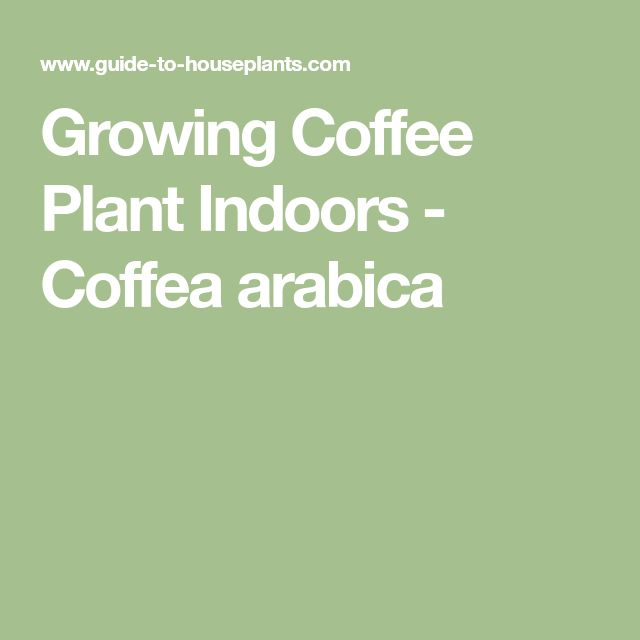 Growing Coffee Plant Indoors - Coffea arabica