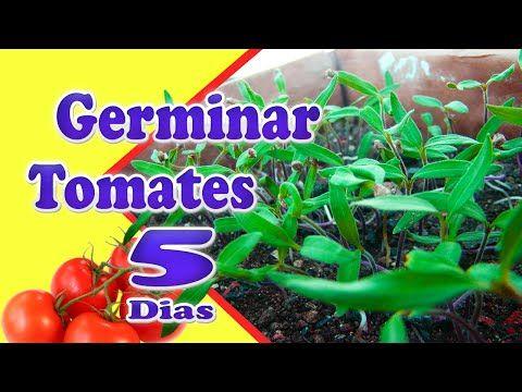 Como Plantar Tomates - 3 Formas Simples (GERMINANDO RÁPIDO) - YouTube