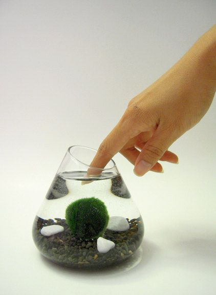 Marimo Pet in the Black Sea DISCOUNTED Red sea, Easy