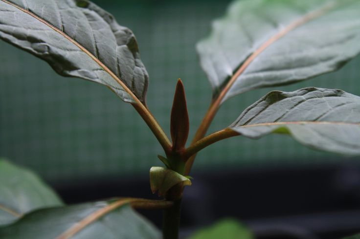 Live kratom plants in stock and for sale!