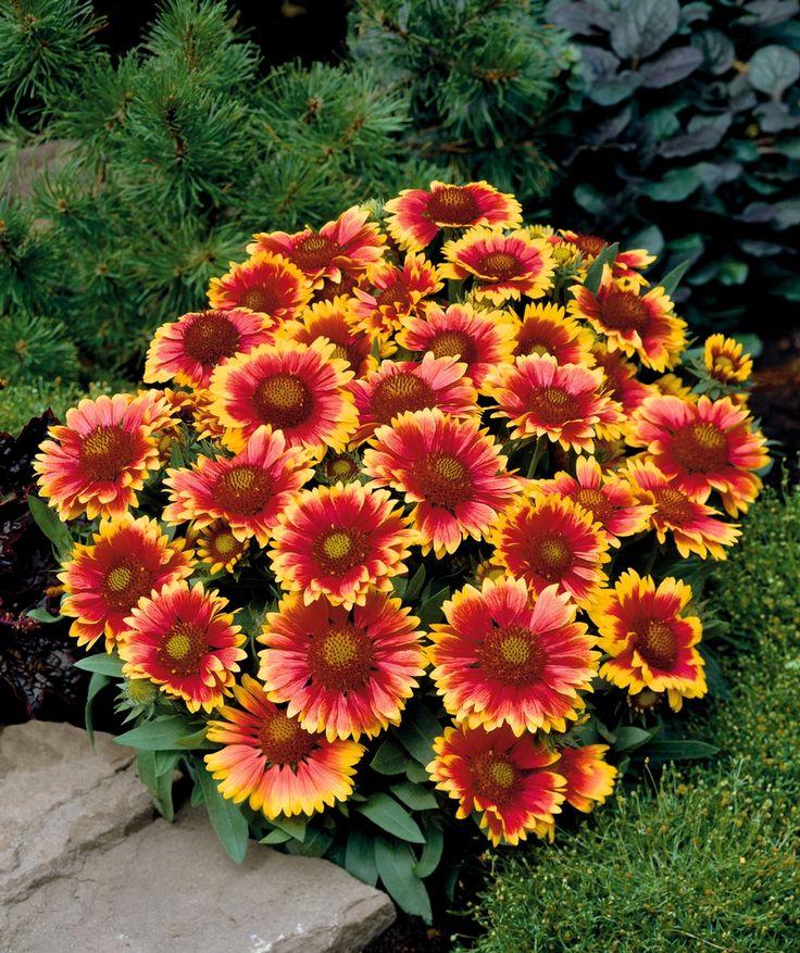 Фото и названия цветов многолетних