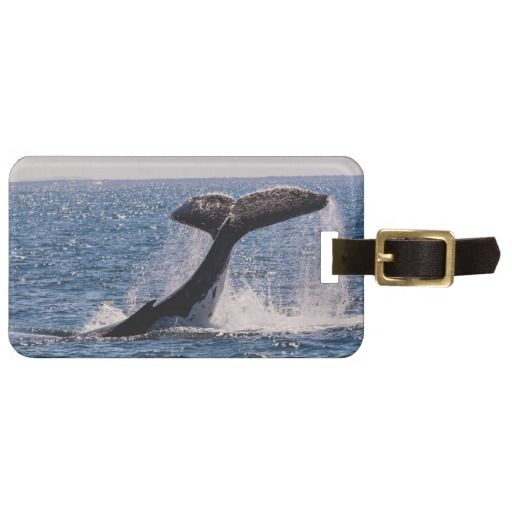 This luggage tag features a Humpback whale on its annual migration frolicking in the water off Surfer's Paradise, Australia. Each year thousands of Humpback's pass through these waters on the way to their mating grounds. #whale #whales #humpback #humpbacks #ocean #sea #migration #wildlife #nature #tail