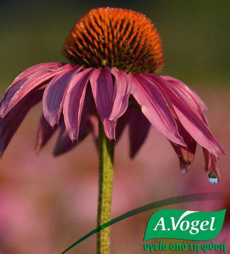 Αμέσως μετά τη συγκομιδή, τα βότανα μεταφέρονται απευθείας στις εγκαταστάσεις επεξεργασίας για την παραγωγή των προϊόντων εχινάκιας. Με την άμεση επεξεργασία σοδειάς, τα δραστικά συστατικά της εχινάκιας λαμβάνονται σε υψηλότερη ποιότητα και αποτελεσματικότητα σε σύγκριση με την επεξεργασία αποξηραμένων βοτάνων.