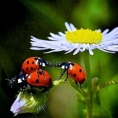 3 ladybugs on white bud
