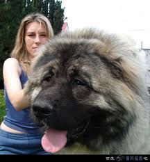 caucasian shepherd dog - Google Search