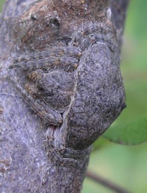 Spiderzrule. This spider looks like a knot on the tree. Perfectly blends, which makes it really scarey!