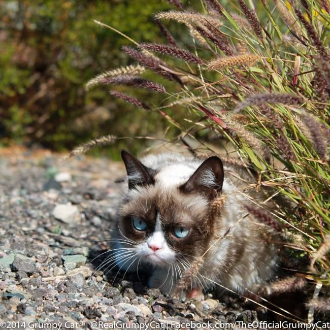 138 best images about grumpy cat on pinterest