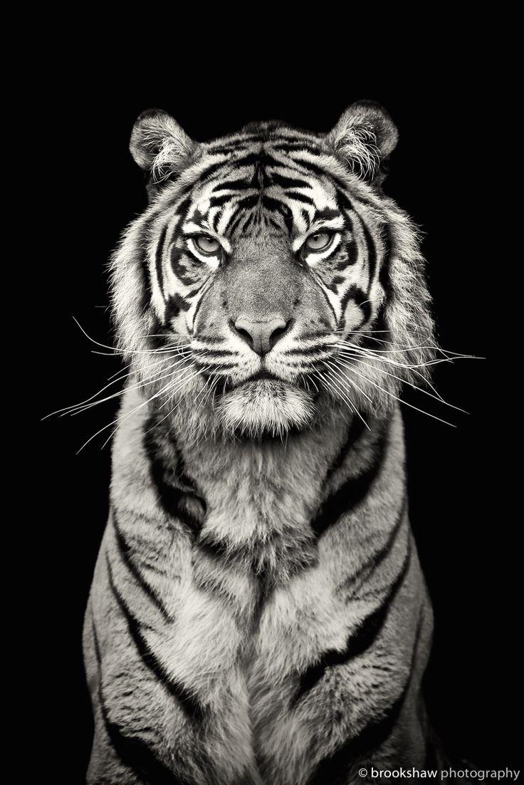 Kirana, the gorgeous female Sumatran Tiger at Chester Zoo…